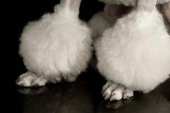 特写镜头白色狮子狗被隔绝的黑背景的修饰的爪子 免版税图库摄影