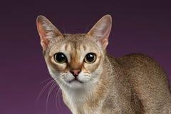 特写镜头看在紫色的照相机的Singapura猫 库存图片