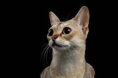 特写镜头看起来Singapura的猫有趣在黑色 库存照片