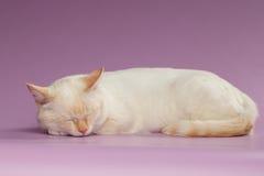 特写镜头睡觉在紫色的姜猫 免版税库存照片