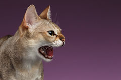 特写镜头积极的Singapura猫嘘声描出在紫色的看法 免版税库存照片