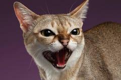 特写镜头积极的Singapura猫在紫色发出嘘声 免版税库存照片