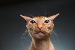 特写镜头滑稽的姜Sphynx猫使看在背景的照相机惊奇 库存照片