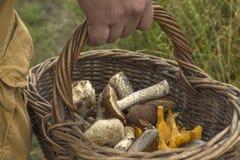 特写镜头篮子在蘑菇猎人的手上 免版税库存图片
