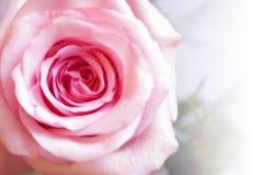 特写镜头粉红色上升了 图库摄影