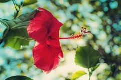 特写镜头红色木槿花 库存图片