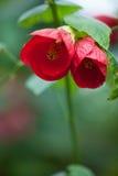 特写镜头红色木槿花 库存照片