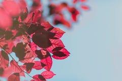 特写镜头红色秋天在蓝天背景离开 在棕色分支的五颜六色的叶子在一个明亮的公园 美好的环境 免版税库存图片