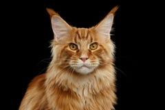 特写镜头红色缅因树狸猫看照相机,被隔绝的黑背景 免版税库存照片