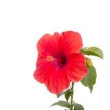 特写镜头美丽的木槿花 免版税图库摄影