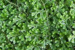 特写镜头美丽的绿色青苔 库存照片