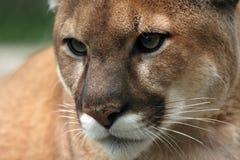 特写镜头美洲狮 库存照片