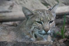 特写镜头美洲野猫 库存图片