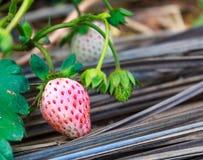 特写镜头耕种草莓视图 免版税图库摄影