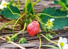 特写镜头耕种草莓视图 库存图片