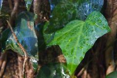 特写镜头绿色叶子用水滴下本质上 免版税库存图片