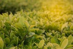 特写镜头绿色叶子自然视图在庭院里在sunl下的夏天 库存照片