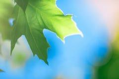 特写镜头绿色在明亮的蓝天背景离开 一个晴朗的夏天公园 壮观的花卉风景 图库摄影