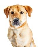 特写镜头黄色拉布拉多猎犬杂种狗 图库摄影
