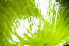 特写镜头绿色莲花叶子背景 免版税库存图片