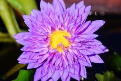 特写镜头紫色莲花 库存照片