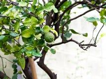 特写镜头绿色香柠檬或非洲黑人石灰在树 并且佛手柑树有一种叶子疾病 免版税库存照片