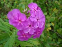 特写镜头花粉红色多汁植物 免版税库存照片