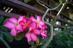 特写镜头花粉红色多汁植物 免版税库存图片