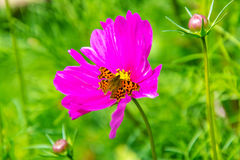 特写镜头花粉红色多汁植物 库存图片