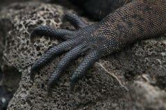特写镜头英尺加拉帕戈斯鬣鳞蜥海军陆战队员 库存照片
