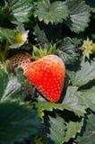 特写镜头草莓在种植园 免版税图库摄影
