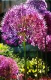 特写镜头葱属globemaster在长的词根的庭院花 免版税图库摄影
