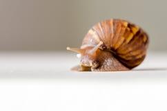 特写镜头蜗牛走 库存照片