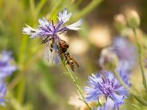 特写镜头蜘蛛Synema globosum吃黄蜂在紫色矢车菊的Polistes dominula 库存图片