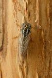 特写镜头蝉Euryphara,叫作欧洲蝉,爬行在树皮 库存照片