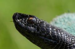 特写镜头蝰蛇属Nikolskii 免版税库存照片