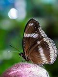 特写镜头蝴蝶吃食物 库存照片
