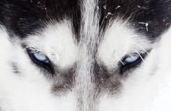 特写镜头被射击多壳的狗蓝眼睛 免版税库存图片