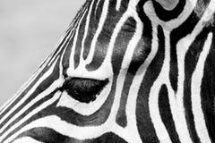 特写镜头被射击斑马的眼睛 库存图片