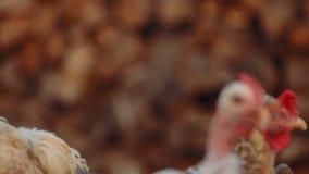 特写镜头被射击有机鸡在导致堆的农场木日志 股票录像