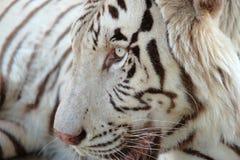 特写镜头被射击白色孟加拉老虎 免版税库存照片