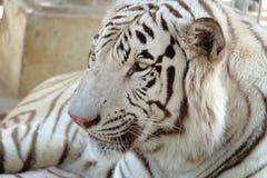 特写镜头被射击白色孟加拉老虎 免版税图库摄影