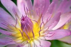 特写镜头被射击的紫罗兰色莲花 免版税库存照片
