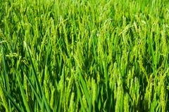 特写镜头被射击米的绿色耳朵 免版税图库摄影
