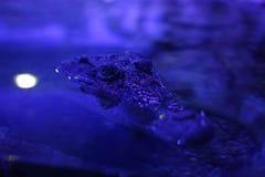 特写镜头被射击鳄鱼 免版税库存照片
