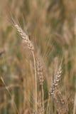 特写镜头被射击麦子茎在麦田的 免版税库存图片