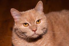 特写镜头观点的一只严重看的姜猫 免版税库存图片