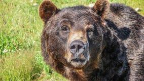 特写镜头观点的凝视北美灰熊在加拿大原野 库存照片