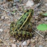 特写镜头观点的北豹子青蛙(Lithobates pipiens) 免版税库存照片