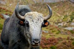 特写镜头观点的在山的tibetian牦牛 免版税库存图片